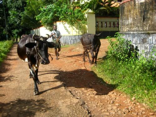 walking the cows in paipad, kerala